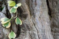 Hoya-Rebe und hölzerner Barkenoberflächenhintergrund lizenzfreies stockfoto