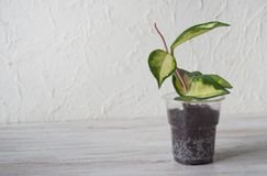 Hoya seedling in a pot on the table. The breeding of indoor plants royalty free stock photo