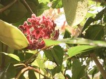 Hoya in summer. Flower in summer Stock Images
