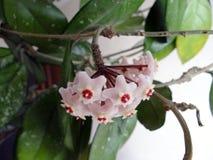 Hoya vinranka royaltyfria foton