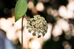 Hoya. Or wax flowers in the nature and beautiful background royalty free stock image