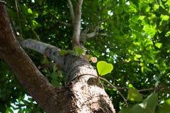 Hoya, Wax plant flower Stock Images