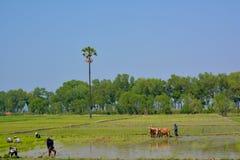 HPA-, MYANMAR - 10 02 2016 Birmaanse landbouwers die rijstspruiten planten royalty-vrije stock afbeelding