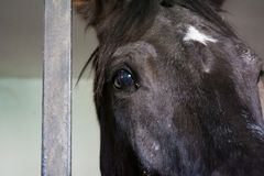 Close Up Of Black Horse Eye In the Stable. Hprizontal View Of Close Up Of Black Horse Eye In a Stable Near A Dark Steel Bar Royalty Free Stock Images