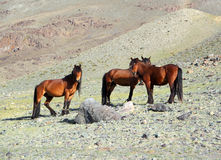 Hree horses in mountains Royalty Free Stock Photo