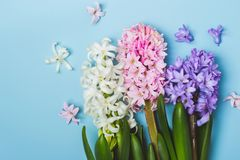 Hree multicolored flowering hyacinth flowers on a blue background. Springtime concept.  Stock Photos