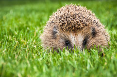 Hérisson dans l'herbe verte Photo libre de droits