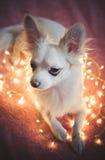 Сhristmas dog. Christmas dog thinking Royalty Free Stock Images