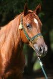 Härlig arabisk häst med den trevliga showhalteren Arkivfoto