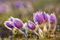 härlig blomma blommafjäder Naturlig kulör suddig bakgrund (Pasque Flowers - Pulsatillagrandis) Royaltyfri Fotografi