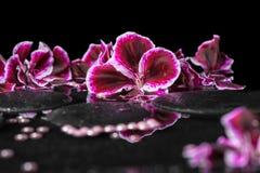 Härlig brunnsortbakgrund av den blommande mörka purpurfärgade pelargonblomman Royaltyfri Bild