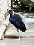 Härlig fågel med svart-, vit- och blåttfjädrar Fotografering för Bildbyråer