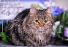 Härlig fluffig brun katt Royaltyfri Bild