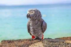 Härlig grå papegoja som sitter på en vägg Arkivfoton