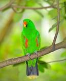 Härlig grön eclectuspapegoja Royaltyfri Foto