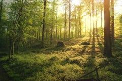 Härlig grön skog på solnedgången Arkivbild