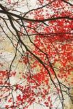 Härlig grungy bakgrund för röd lönn Royaltyfria Bilder