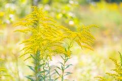 Härlig gul goldenrod blommar att blomma Fotografering för Bildbyråer