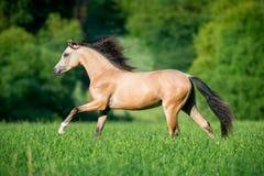 Härlig hästspring i skog Fotografering för Bildbyråer