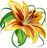 Härlig lilja Royaltyfri Fotografi