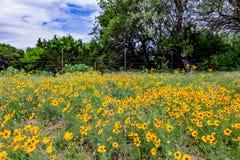 Härlig ljus guling plattar till Coresopsis vildblommor i ett fält Arkivfoton