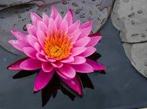 Härlig Lotus Lilly blomma i trädgården Royaltyfria Bilder