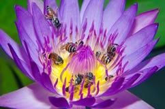 Härlig lotusblomma och bi Royaltyfri Foto