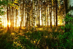 Härlig natur på aftonen i sommarskogen på solnedgången Arkivbild