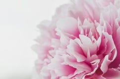 Härlig ny rosa pionblomma som isoleras på vit bakgrund Pionsommar blom- förälskelse Ny frigörare formad om dollarsedel Ställe för Royaltyfri Foto
