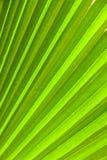 Härlig palmbladtextur Royaltyfria Foton