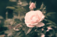 Härlig rosa färgros i trädgård Arkivbild