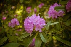 Härlig rosa rhododendron blommar på en naturlig bakgrund Arkivfoton
