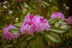Härlig rosa rhododendron blommar på en naturlig bakgrund Arkivbild
