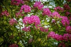 Härlig rosa rhododendron blommar på en naturlig bakgrund Arkivbilder