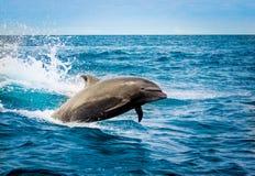 Härlig skämtsam delfinbanhoppning i havet Arkivbilder