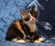 Härlig tricolor fluffig kattunge Fotografering för Bildbyråer