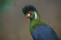 Härlig Turacofågel Arkivfoton
