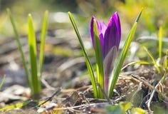 Härlig violett vårkrokus Royaltyfri Fotografi