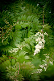 Härlig vit blomningbuske Spirea Arkivbild