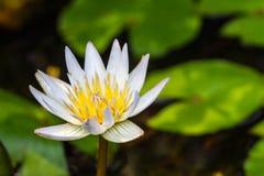 Härlig vit näckros- eller lotusblommablomma Arkivbilder