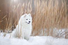 Härlig vit Samoyedhund Arkivfoto