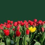 Härliga blommatulpan med en bakgrund för en inskrift (r Royaltyfri Bild