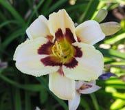 Härliga blommor som odlas i europeiska trädgårdar den blommande kräm- dag-liljan (lilja) jämförde till andra växter i trädgården Arkivfoto