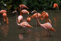 Flamingos den Jurong fågeln parkerar, Singapore Arkivfoto