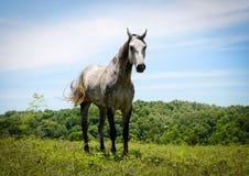 Härliga Gray Horse i fält mot himlen Arkivbilder