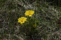 Härliga gula blommor av Adonis vernalis Arkivfoto