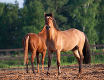 Härliga hästar i solnedgång Arkivbild