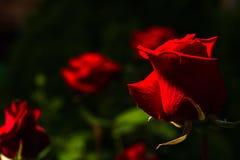 Härliga lös-växande röda rosor Royaltyfria Bilder