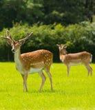 Härliga röda hjortar med horn på kronhjort den nya Forest England UK Royaltyfria Bilder