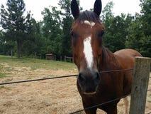 Härliga Roan Horse Arkivfoton